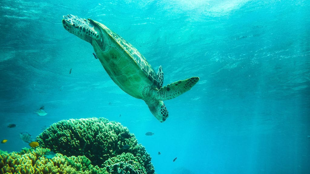 Turtle+Diving+at+Apo+Island+Philippines