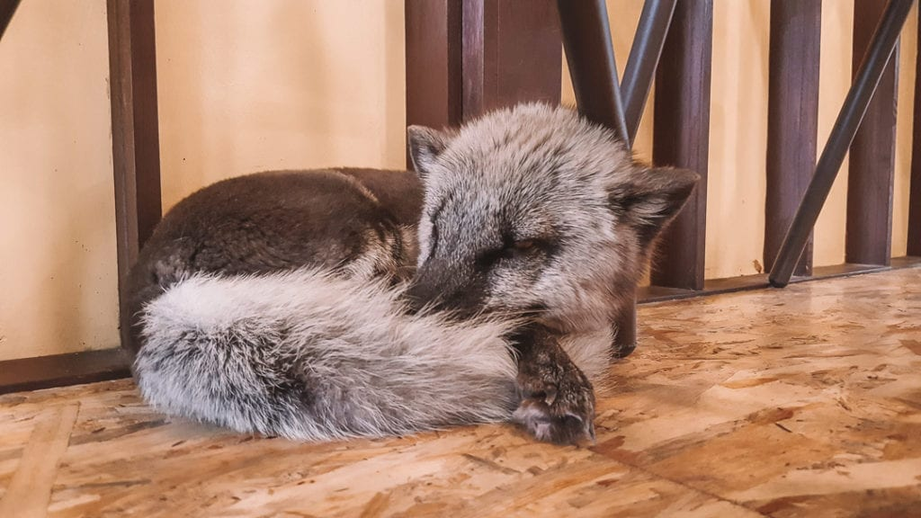 A sleepy arctic fox in the meerkat cafe seoul
