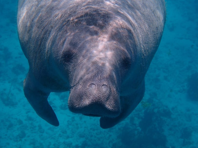 manatees-in-florida