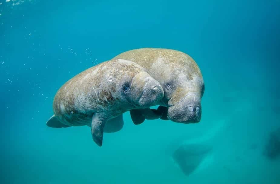 Where to see Manatees in Florida? (12 Places you can see them!)